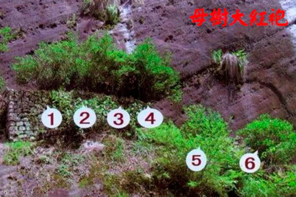 6 кустов Да Хун Пао