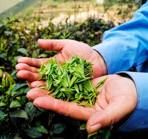 ГАБА - уникальный чай с уникальными свойствами. 1