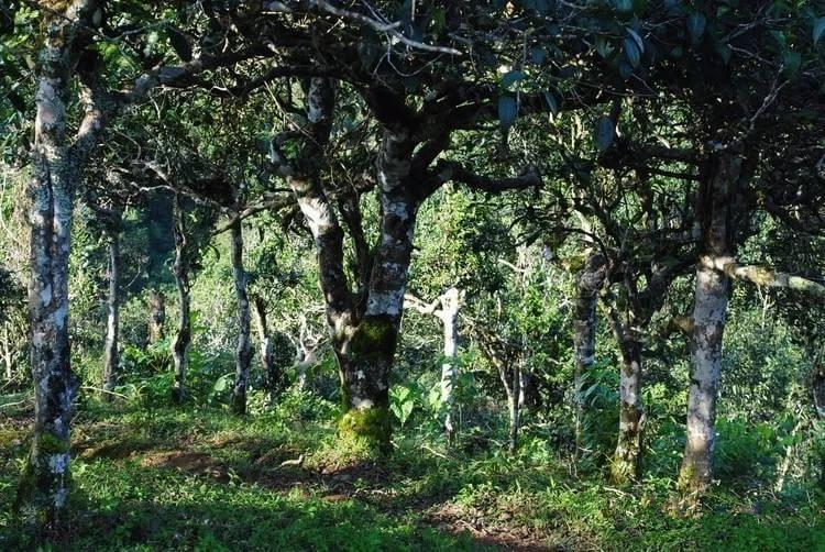 чайные деревья Булан